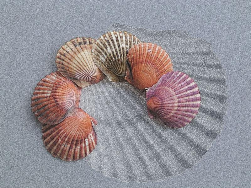 Shelagh Roberts - Scallop Shells