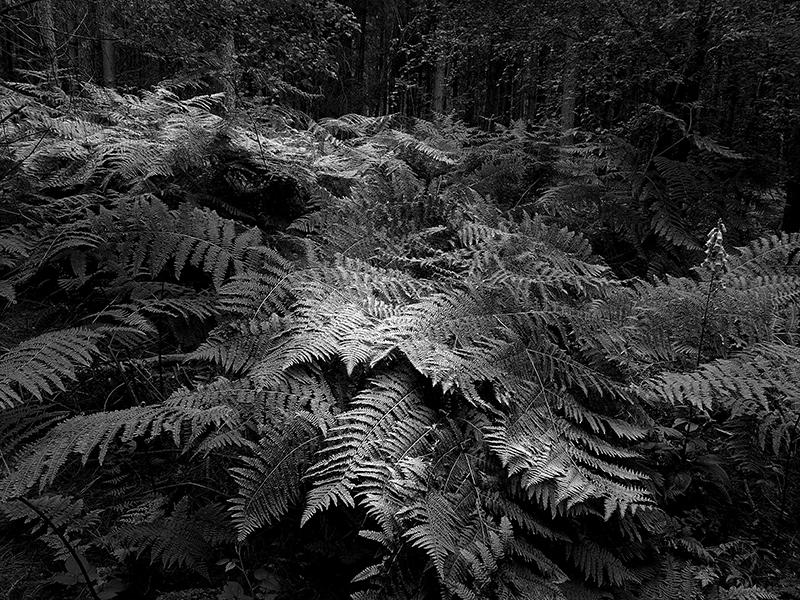 Ferns by Peter Delehar