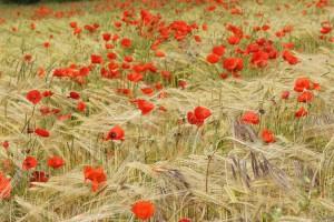 Poppies - Lynn Carter