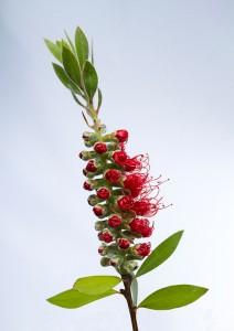 Bottle Brush Plant by Peter Phillips