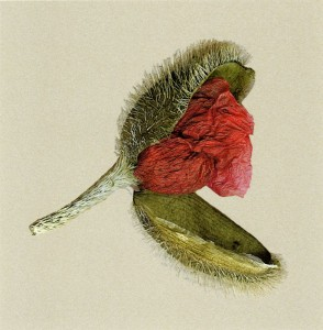 Poppy Opening by Shelagh Roberts