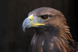 Golden Eagle_Michael Chown