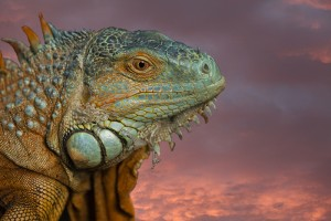 Green Iguana - Dave Buckland