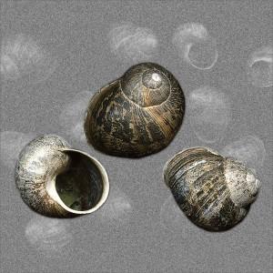 Snail shells_Shelagh Roberts