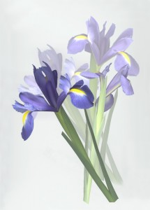 Iris - Shelagh Roberts