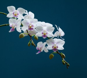 Orchid - Dave Buckland