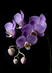 Orchid - Peter Phillips