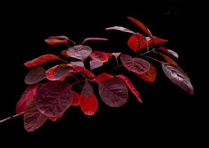 Cotinus - Peter Phillips