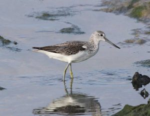 Greenshank - Mike Kosniowski