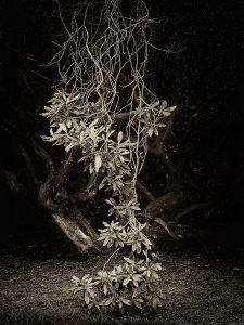 Hanging Rhododendron - Peter Delehar