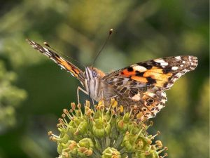 Painted Lady on Ivy Flower - Peter Phillips