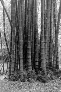 Bamboo - Felicity Jenkins