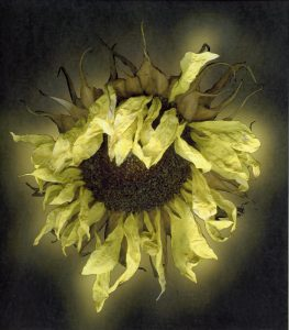 Sunflower - Shelagh Roberts