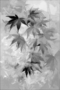 Acer Mono - Shelagh Roberts