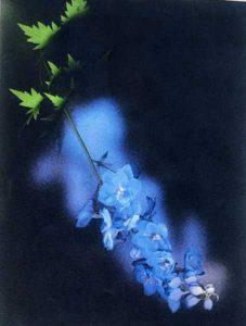 Delphinium - Shelagh Roberts