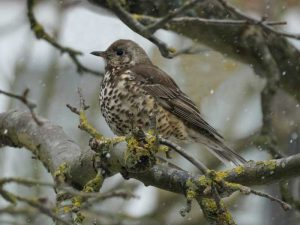 Mistle Thrush in the Snow - Fred Wickens